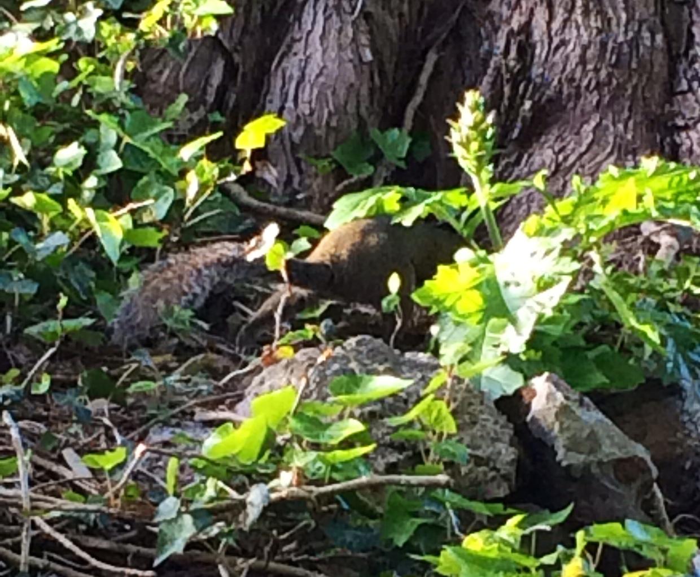 Une queue d'écureuil !
