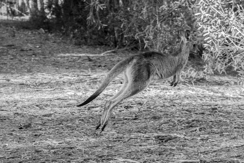 Kangourou en plein jump