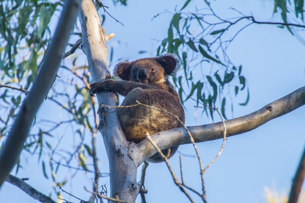 Il est là le koala !