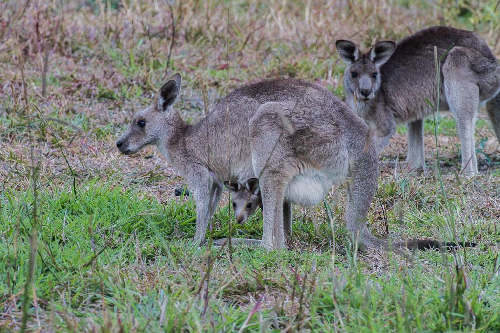 Maman kangourou et son bébé