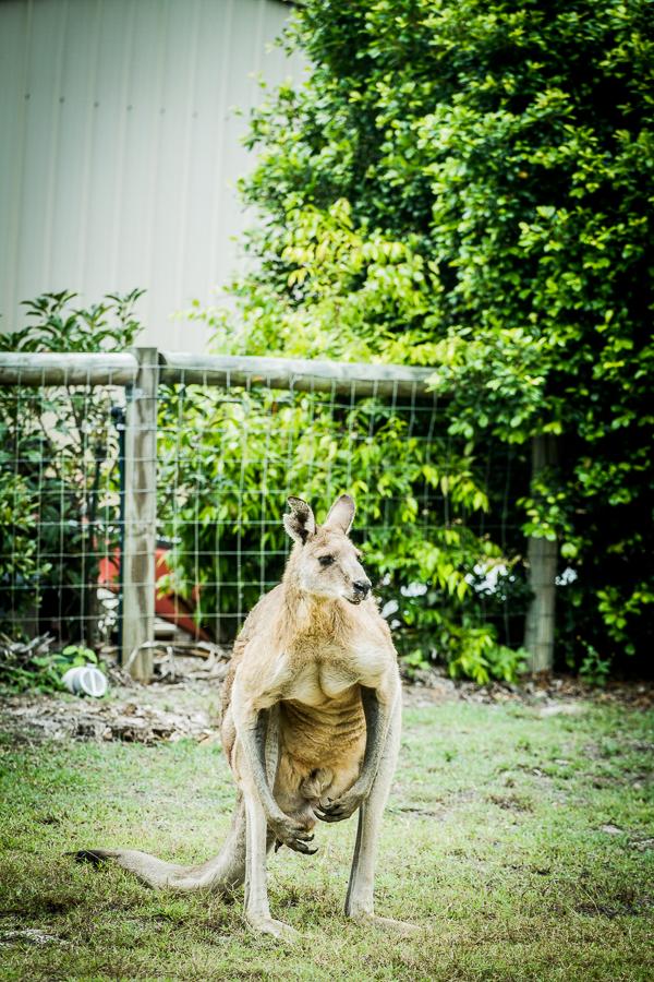 Kangourou qui cherche à nous impressionner