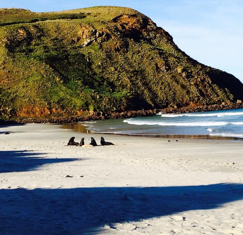 Plage de la péninsule d'Otago (Dunedin) avec les lions de mer !