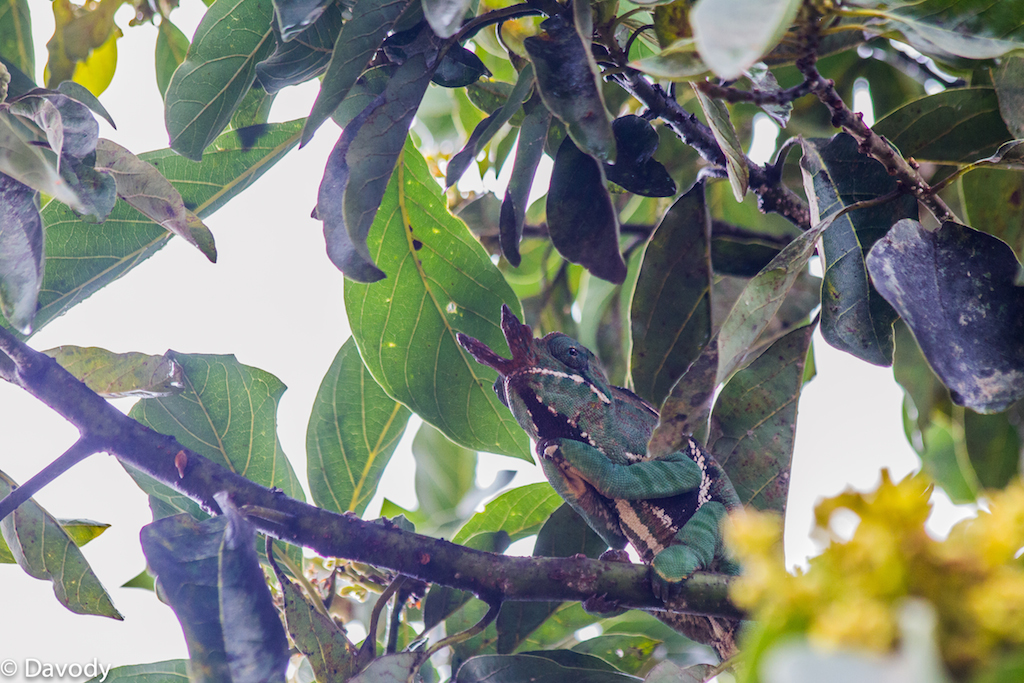 Caméléon mâle (Ranomafana) 1 : La plus grosse espèce de caméléons au monde !