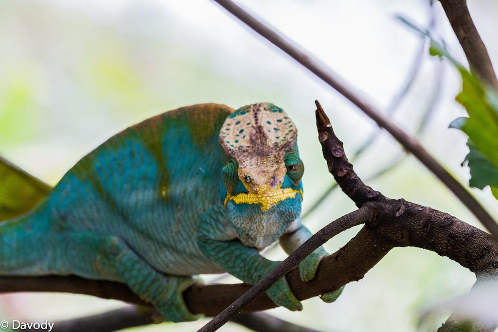 Caméléon mâle (Ranomafana) 2