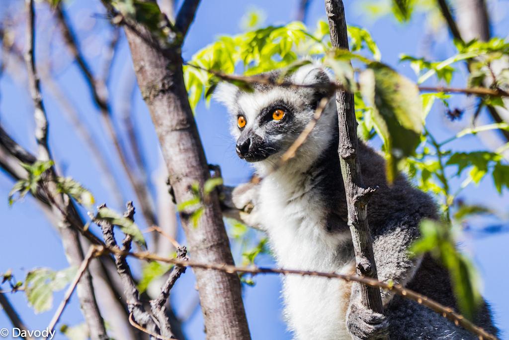 Maki : espèce de lémurien emblématique de Madagascar (Ambalavao) 1
