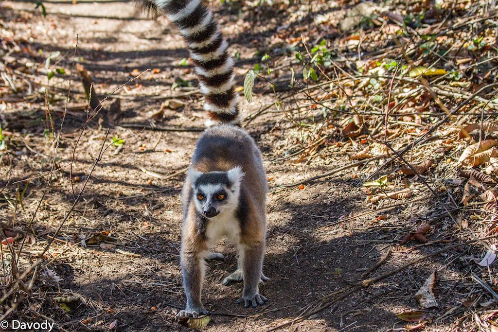 Maki : espèce de lémurien emblématique de Madagascar (Ambalavao) 2