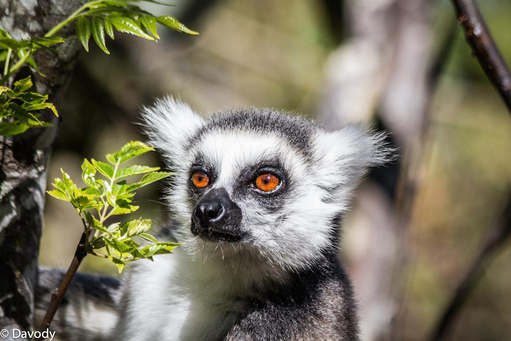 Maki : espèce de lémurien emblématique de Madagascar (Ambalavao) 3
