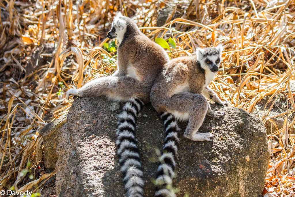 Makis : espèce de lémurien emblématique de Madagascar (Ambalavao) 4